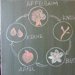 Der Apfel_06